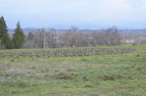 Cully-Park-geese-1024x678